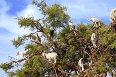 Goats on the argan tree, Morocco Royalty Free Stock Image