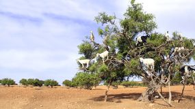 Goats on the argan tree, Morocco stock photo