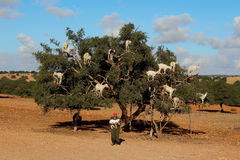 Goats on the argan tree in Morocco. royalty free stock photography