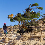 Goats on argan tree. Stock Photo