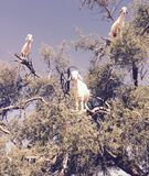 Goats in argan trees of morocco royalty free stock images