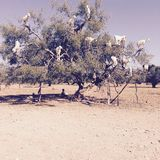 Goats in argan trees of morocco royalty free stock photography