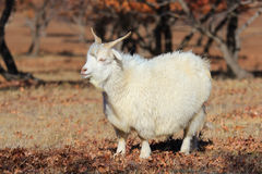 Goats autumn maple forest Stock Image