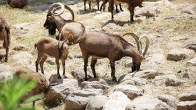 Goats az Izmir zoo stock video footage
