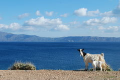 Goats on the background of blue sea Royalty Free Stock Photography