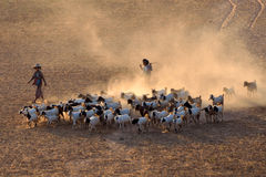 Goats at Bagan Plains Stock Image