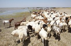 Goats on the banks of the african lake Stock Photos