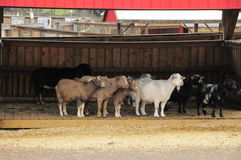 Goats in barn. Eight goats in various colours waiting to walk outside Royalty Free Stock Photography