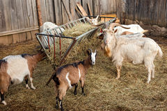Goats in a barn stock photos