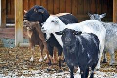 Goats in the barnyard Stock Photo