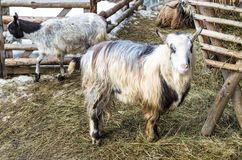 Goats on the barnyard near feeders in the village. Farm, close-up, selective focus, Ukraine stock image