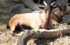 Goats bask in the sun, Thailand. Southeast Asia Stock Images
