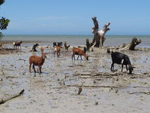 Goats on the Beach in Madagascar Royalty Free Stock Images