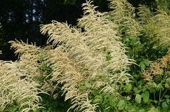 Goats Beard (Aruncus dioicus) Royalty Free Stock Photography