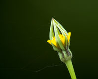 Goats-beard Flower Bud Royalty Free Stock Photos