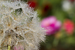 Goats Beard Wildflower Seedhead And Dew Royalty Free Stock Photography
