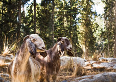 Goats. Beautiful photos of goats grazing in the forest. Israel Stock Image