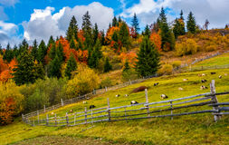 Goats behind the wooden fence. Beautiful deep autumn countryside scene. goats behind the wooden fence. Gorgeous landscape with dramatic sky over forest Royalty Free Stock Images
