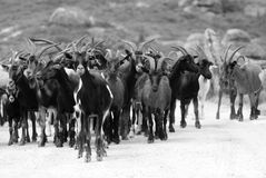 Goats in black and white Royalty Free Stock Photos