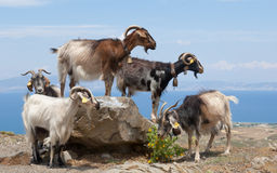 Goats on a boulder Stock Photos