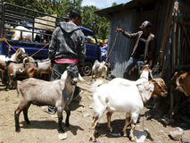 Goats. Breeder was selling goats for sacrifice during Eid al-Adha in the city of Solo, Central Java, Indonesia Stock Image