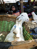 Goats. Breeder was selling goats for sacrifice during Eid al-Adha in the city of Solo, Central Java, Indonesia Royalty Free Stock Photography