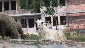 Goats in Bulgaria stock video footage