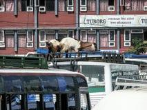 Goats at bus station - Chaos in Kathmandu Royalty Free Stock Photo