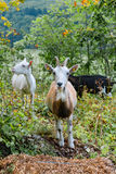 Goats in the bush. Three different colored goats eat greens in the bushes Stock Image
