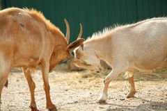 Goats butting each other. Two goats butting each other on the farm Stock Photo