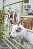 Goats in a caged area. A bunch of goats in a caged area Royalty Free Stock Photography
