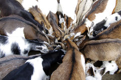 Goats / Capra aegagrus hircus go into a huddle Stock Photography