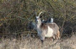 Goats Capra aegagrus hircus grazing at the edge of a wooded area. Goats Capra aegagrus hircus grazing in rough pasture at the edge of a wooded area Stock Photography