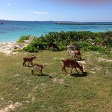 Goats Caribbean sea weeds bush Stock Photography