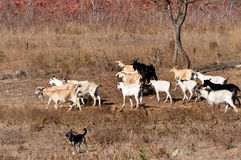 Goats and cattle dog Royalty Free Stock Photography