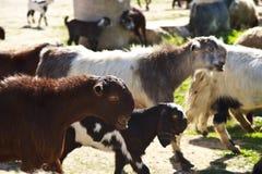 Goats Stock Image