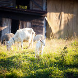 Goats chewing a grass on a farmyard Royalty Free Stock Image