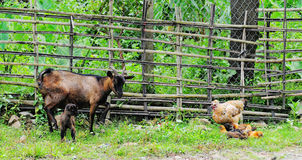 Goats and chickens at garden in Dalat, Vietnam Stock Photo