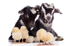 Goats and chickens Stock Photo
