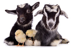 Goats and chickens Royalty Free Stock Photos