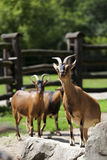 Goats in the clearing Royalty Free Stock Image