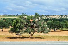 Goats climb up the argan tree to eat its nuts. royalty free stock photo