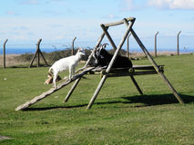 Goats on climbing frame Stock Images