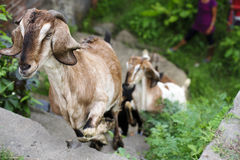 Goats climbing up stairs. Goats climbing up stone stairs in Bali, Indonesia Stock Image