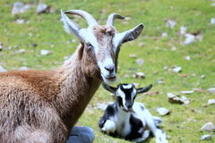Goats. Close up of a Goat with a kid goat in the background Royalty Free Stock Photography