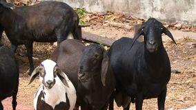 Goats close up chewing stock video footage