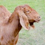 Goats Royalty Free Stock Image