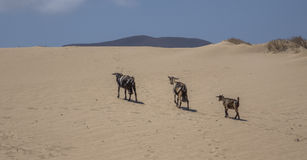 Goats in Corralejo,Fuerteventura,Canary islands,Spain Royalty Free Stock Image