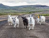 Goats country road Iceland Stock Photography