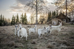 Goats in the countryside Royalty Free Stock Photography